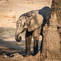 Elephant (petraherdlitschke) Tags: africa afrika animals tier elefant elephant wildlife wildlifephotography naturephotography nature botswana outdoors outofafrica okavangodelta canon