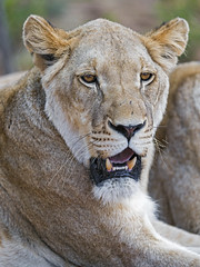 Another lioness with open mouth (Tambako the Jaguar) Tags: lion big wild cat female lioness lying resting posing close portrait face openmouth kevinrichardsonwildlifesanctuary southafrica nikon d5