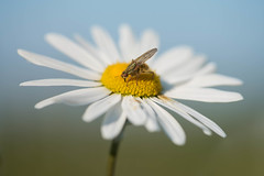 In the center (Scathophaga stercoraria) (~ Jessy S ~) Tags: nikon d750 nikkor 105mm macro macrophotography flower fleur flora fly mouche insecte insects bug bugs daisy center focus bokeh