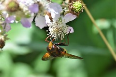 Looks scary! (pstone646) Tags: bug insect nature animal wildlife flora fauna bokeh flower feeding pollination