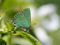 Green hairstreak butterfly (SteveYoung839) Tags: butterfly greenhairstreak hairstreak steveyoung olympus omd em1mk2 panasonic leica 100400