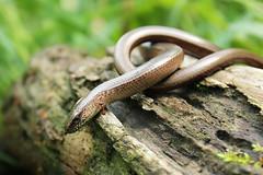 IMG_9679 (siudym) Tags: slow worm anguis fragilis padalec zwyczajny