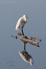 IMG_2157 w (grilee3) Tags: florida morning park beach sunrise bird snowyegret egret wading bigtalbotisland