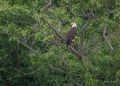 Male Bald Eagle above Hardy Lake, Austin Indiana (flintframer) Tags: hardy lake austin indiana wow nature dattilo wildlife male bald eagle raptor birds canon eos 7d markii ef100400mm