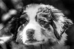 Camp Augusta (Thomas Hawk) Tags: australianshepherd california campaugusta nevadacity bw camp dog puppy summercamp