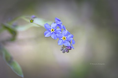 Forget-me-not... (moraypix) Tags: forgetmenot woodland woodlandflower blue blues tinyflowers moraypixphotography jimmacbeath fujifilmxt20 fujifilmxf60mm