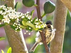 Mal coiffé !!!!! (bigarenp) Tags: mésange oiseaux printemps