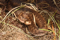 Adder (Vipera berus) (Sky and Yak) Tags: adder vipera berus viperaberus viper commonviper snake reptile reptilesandamphibians uk snakes hampshire herpetology herp nature naturalworld newforest uksnakes zigzag pattern