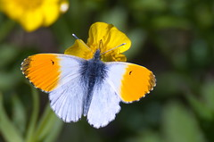 Koiduliblikas; Anthocharis cardamines; Orange-tip (urmas ojango) Tags: lepidoptera liblikalised insecta insects putukad butterfly põualibliklased pieridae koiduliblikas anthochariscardamines orangetip