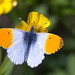 Koiduliblikas; Anthocharis cardamines; Orange-tip