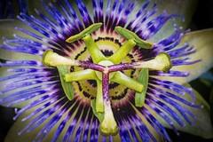 fleur3 (Laurent Hutinet) Tags: roussillon isère france eos eos6d tamronsp60mmf2macrodiii fleur flower bleu couleur macro