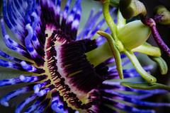 fleur2 (Laurent Hutinet) Tags: roussillon isère france eos eos6d tamronsp60mmf2macrodiii fleur flower bleu couleur macro