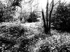 The Foliage B&W2 (GeoffWiseman13) Tags: foliage tree leaves glastonbury somerset blackandwhite