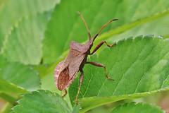 Bug (Hugo von Schreck) Tags: hugovonschreck wanze bug macro makro insect insekt