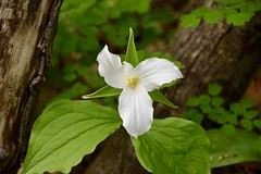 Trillium 1 (Linda Ramsey) Tags: blossom bloom flower may ontario outside outdoors nature wildflower trillium