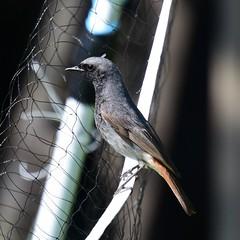 Black redstart (ChrisPy63) Tags: flycatchers nikond7200 nikon spring birdsofgermany birdsofbritain hessen germany outside nature blackredstart redstart bird