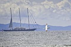 gannet and schooner (RCB4J) Tags: nature wildlife art ayrshire ayrshirecoast clydecoast firthofclyde irvinebeach photography rcb4j ronniebarron scotland sigma150500mmf563dgoshsm sonyalpha sonyilca77m2 on1 on1pics