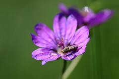 morning walk 22-05-2019 003 (swissnature3) Tags: basel switzerland nature schwarzpark macro flowers insects