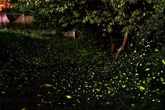 輕羅小扇撲流螢 (derick401156) Tags: 森多概 鳳凰自然教育園區 螢火蟲 火金姑 流螢 firefly 800d sigma35art