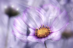 Pink Cosmos (Small and Beautiful) Tags: cosmos flower bokeh beauty macro abstract pastel
