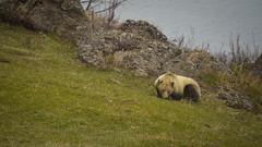 Sleeping (janeseibertphotography) Tags: bear animal photography animalphotography landscapephotography nature naturephotography yellowstone nationalpark yellowstonenationalpark