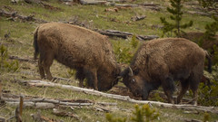 Young Bison Playfully Fighting (janeseibertphotography) Tags: buffallo bison fight fighting play animal photography animalphotography landscapephotography nature naturephotography yellowstone nationalpark yellowstonenationalpark