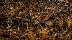 Pinecones Ignited (janeseibertphotography) Tags: fire firedamage damage pine pinetree pinecones tree landscape photography landscapephotography macrophotography macro micro abstract monocrhome yellowstone yellowstonenationalpark nationalpark