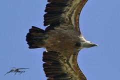 avvoltoio (Tonpiga) Tags: tonpiga uccelliinlibertà faunaselvatica grifonesardo gipsfulvus fotoinnatura sardegna sardinia sardinien avvoltoio bird