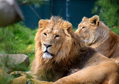 Leaders of the Pride (Keith Mac Uidhir 김채윤 (Thanks for 8m views)) Tags: lion lioness pride lions big cat cats irish ireland dublin zoo