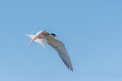 Sterna (giansacca) Tags: animali uccelli vogel birds animaux animals aves oiseaux sterna sternahirundo sternacomune