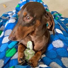 Dis mine. #chocolateandtan #dachshund #chocolateandtandachshund #dachshundsofinstagram #instadachshund #ilovemydachshund #longdogcrew #dismine #ilovemydog #instadog (rhuntington3) Tags: ifttt instagram