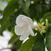 Stemmadenia litoralis (Milky Way Tree, Lechoso)