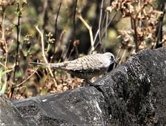 Inca Dove (Columbina inca) 03-15-2019 Rio Chiquito-La Fortuna Road, Guanacaste, CR 1 (Birder20714) Tags: birds costa rica ground doves columbidae columbina inca
