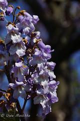 Blauglockenbaum (binax25) Tags: blauglockenbaum tree baum spring frühling blau violett