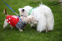 IMG_9153: Making Friends (i_am_lee_sam) Tags: 2019 care strut for strays charity dog walk skokie il