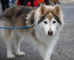 IMG_9111 (i_am_lee_sam) Tags: 2019 care strut for strays charity dog walk skokie il