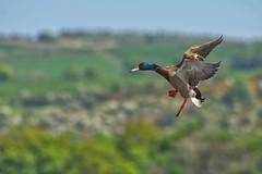Drake coming down (Margaret S.S) Tags: mallard drake male duck inflight