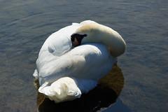 Waterleidingduinen (H. Bos) Tags: zwaan swan bird vogel waterleidingduinen waternet amsterdamsewaterleidingduinen natuur nature zandvoort aan zee