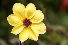 Pale Dahlia 3-0 F LR 5-8-19 J187 (sunspotimages) Tags: flower flowers dahlia dahlias yellow yellowflower yellowflowers yellowdahlia yellowdahlias nature