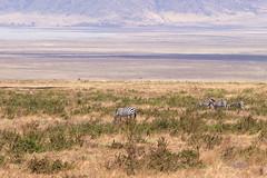 Zebra, Ngorongoro, Tanzania (Amdelsur) Tags: continentsetpays tanzanie caldeiradungorongoro afrique africa ngorongorocaldera tz tza tanzania régiondarusha