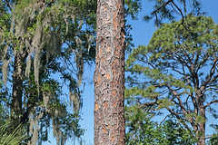 Slash Pine (peterkelly) Tags: canon 6d digital northamerica florida usa us unitedstatesofamerica unitedstates seminole seminolelakepark pine bark trunk tree blue sky slashpine