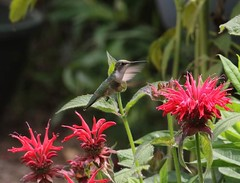 Female Ruby throat hummingbird enjoying bee balm monarda.