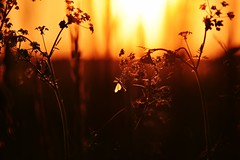 the night is coming... (JoannaRB2009) Tags: meadow nature spring sunset plants insect evening mood closeup