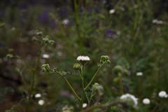 White Pincushion (wanderingnome) Tags: whitepincushion chaenactisartemisiiflora asteraceae yerbabuenaroad santamonicamountains venturacounty california may 2019 westlakevillage unitedstatesofamerica