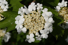 Guelder-Rose (Wild Chroma) Tags: viburnum opulus viburnumopulus netherlands flora viburnaceae dipsacales