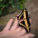 Girl holding a black-yellow butterfly on the palm of her hand