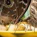 Fütterung von Schmetterlingen mit Bananenscheiben