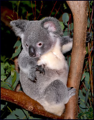 Koala looking for food= (Sheba_Also 15.6 Million Views) Tags: koala looking for food