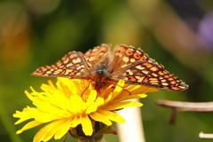 Marsh Fritillary (jon lees) Tags: murlough countydown murloughnnr insect invertebrate irishwildlife