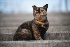 猫 (fumi*23) Tags: ilce7rm3 sony sel85f18 85mm fe85mmf18 a7r3 animal bokeh dof katze cat chat neko gati gato ねこ 猫 ソニー emount